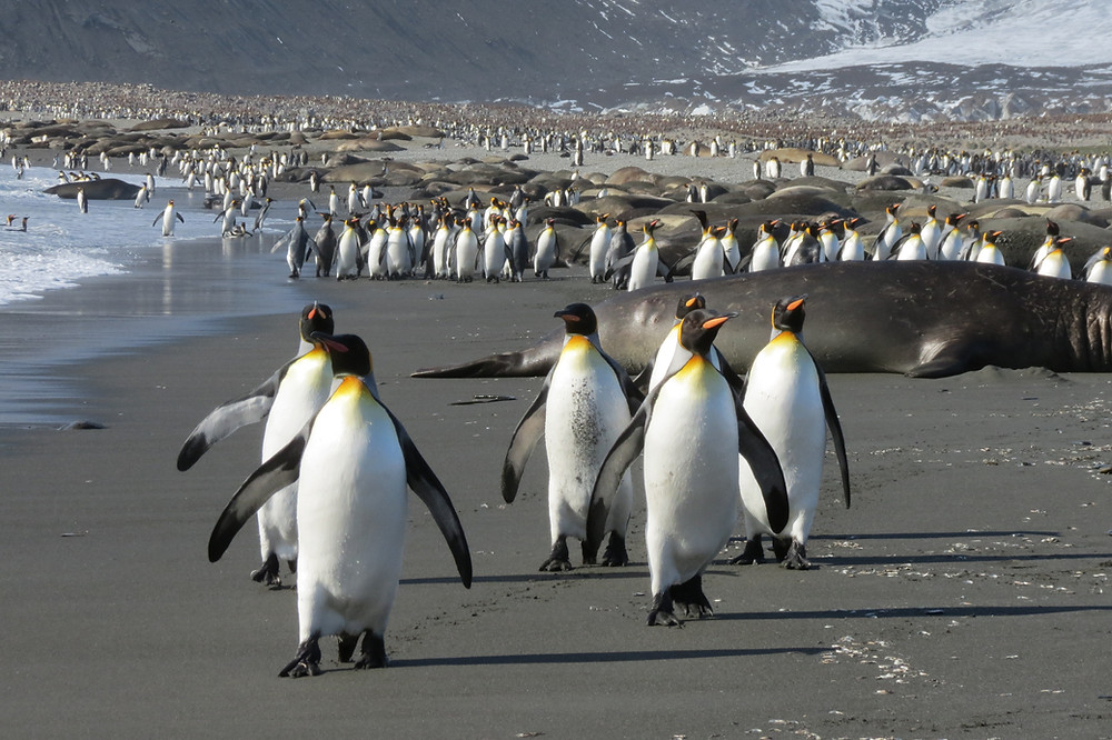 King penguins, St Andrews, South Georgia, Antarctica