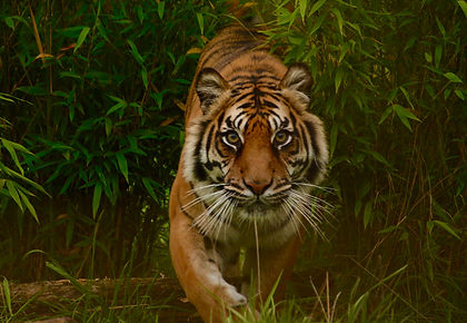 While Bengal tigers are on the rebound, these majestic cats are still an endangered species.  The majority of tigers lives in India and on this wildlife tour we take you to three reserves where your chances of encountering them are the highest.  Pench, Kanha and Bandhavgarh National Parks also offer lots of other game and each has a different feel to it.  We finish the tour with a visit to Agra where the timeless Taj Mahal will leave you breathless.