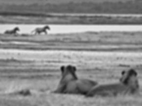 Safari in Serengeti, Tanzania, Africa