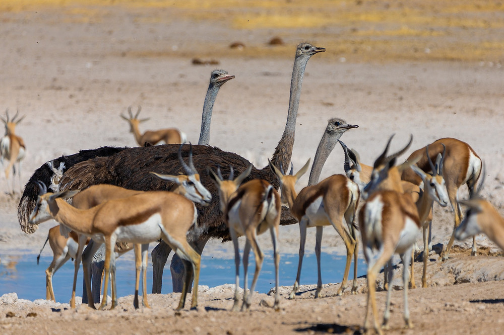 Wildlife on safari in Etosha, Namibia , Africa