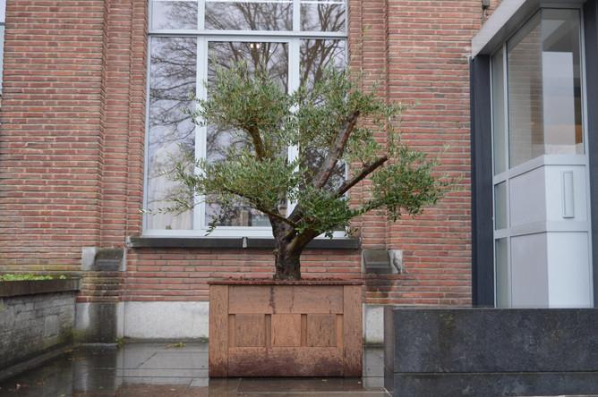 Olijfboom ter nagedachtenis aan Luc