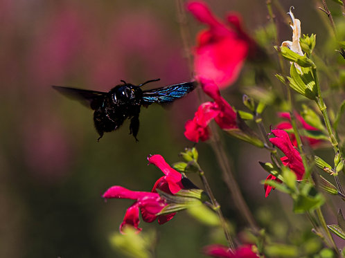 Purple Carpenter Bee