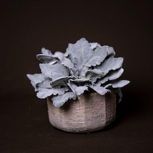 Grey Dusty Miller in Grey Stone Pot