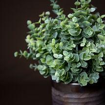 Eucalyptus in Grey Glass Pot Close Up.jp