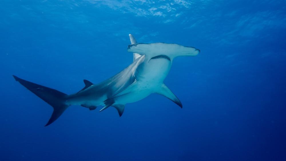 Le requin-marteau est un animal classé en danger sur la liste rouge de l'IUCN.