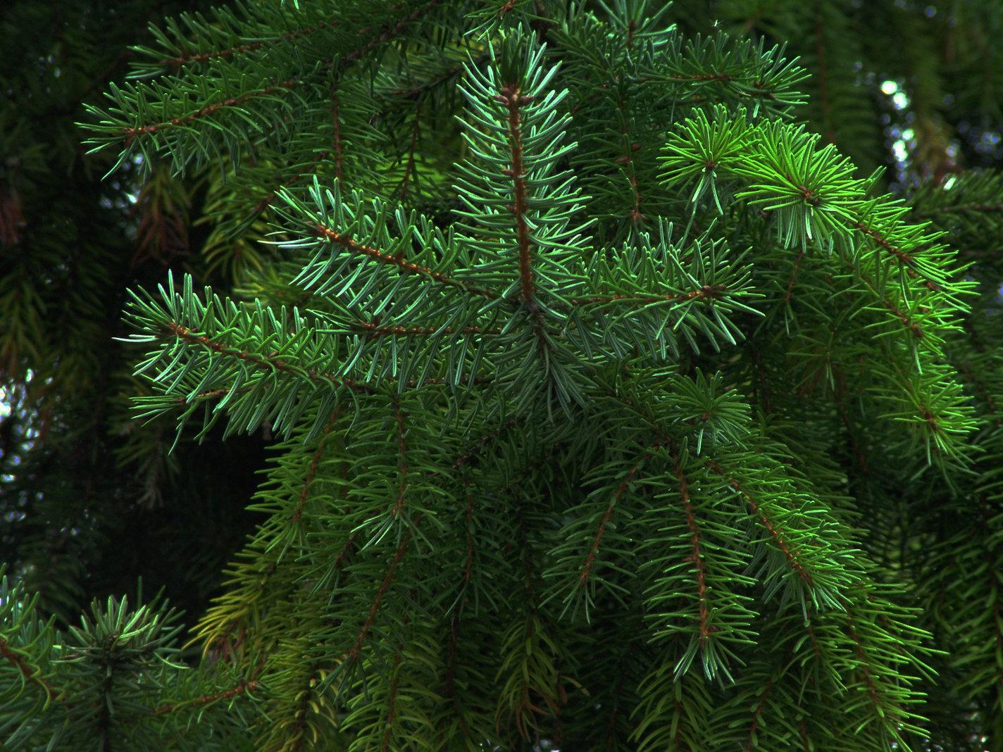 green-pine-tree.jpg