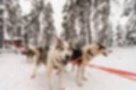 Husky safaris in Saariselkä