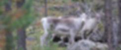 Reindeer safaris, Saariselkä