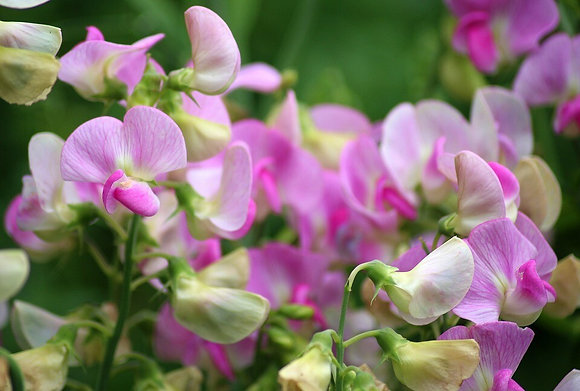 Blossoming Sweetpea