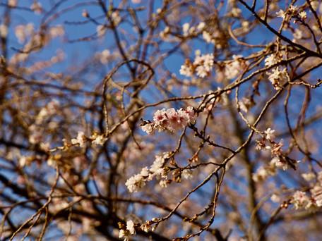 江北緑道公園の十月桜 2020/11/30