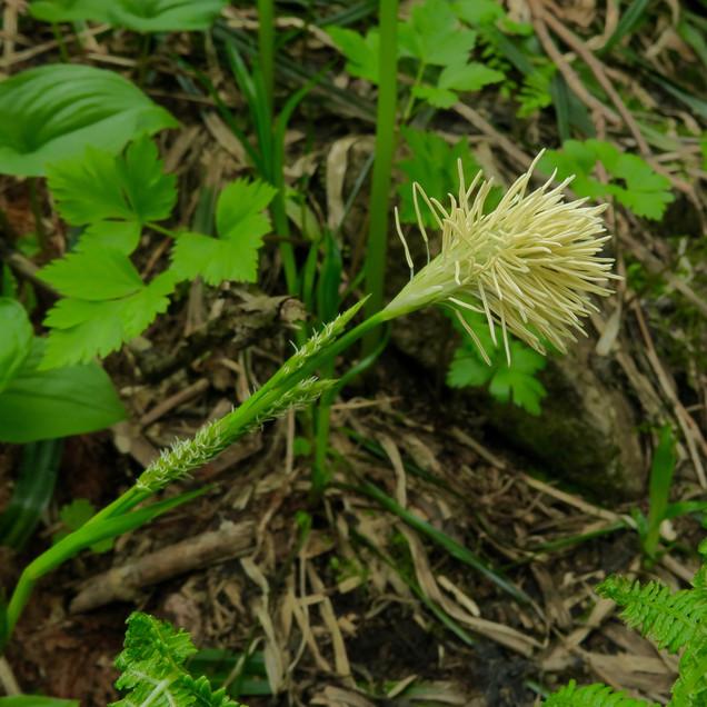 ワタスゲの花
