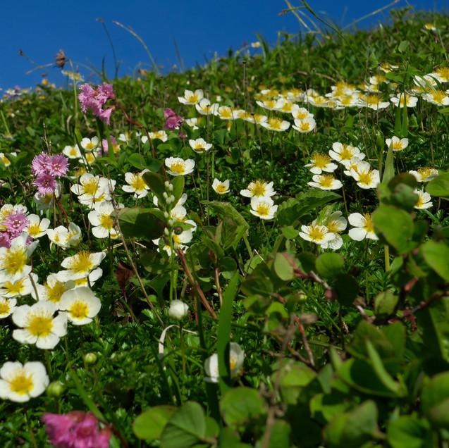 チングルマお花畑