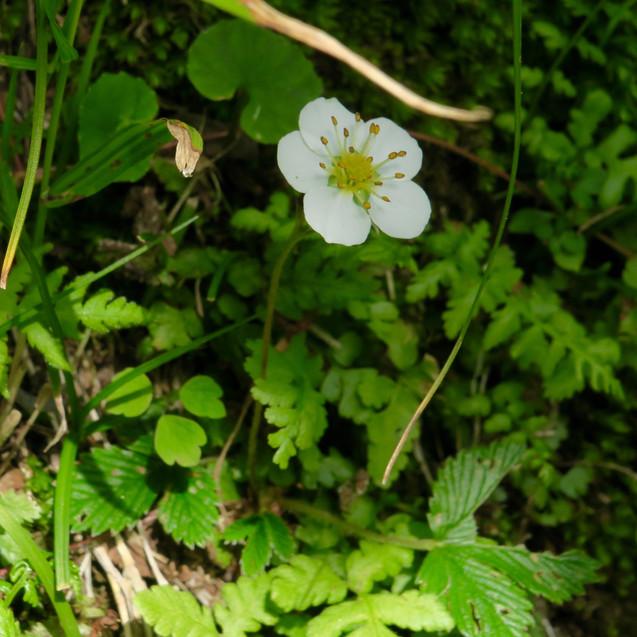 シロバナノヘビイチゴ/白花の蛇苺