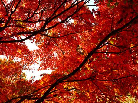 高尾山も紅葉真っ盛り 2020/11/17