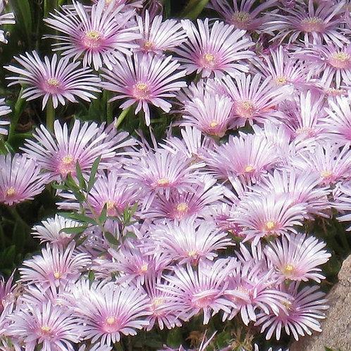 Native Lavender Bee-Balm