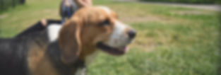 Beagle Dog Goes for Afternoon Dog Walk With Pet Sitter