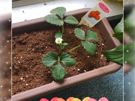 先日子供たちと一緒に植えたイチゴ、花が咲いた♡