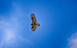 DSC_2161 copy rough legged hawk  (Medium)