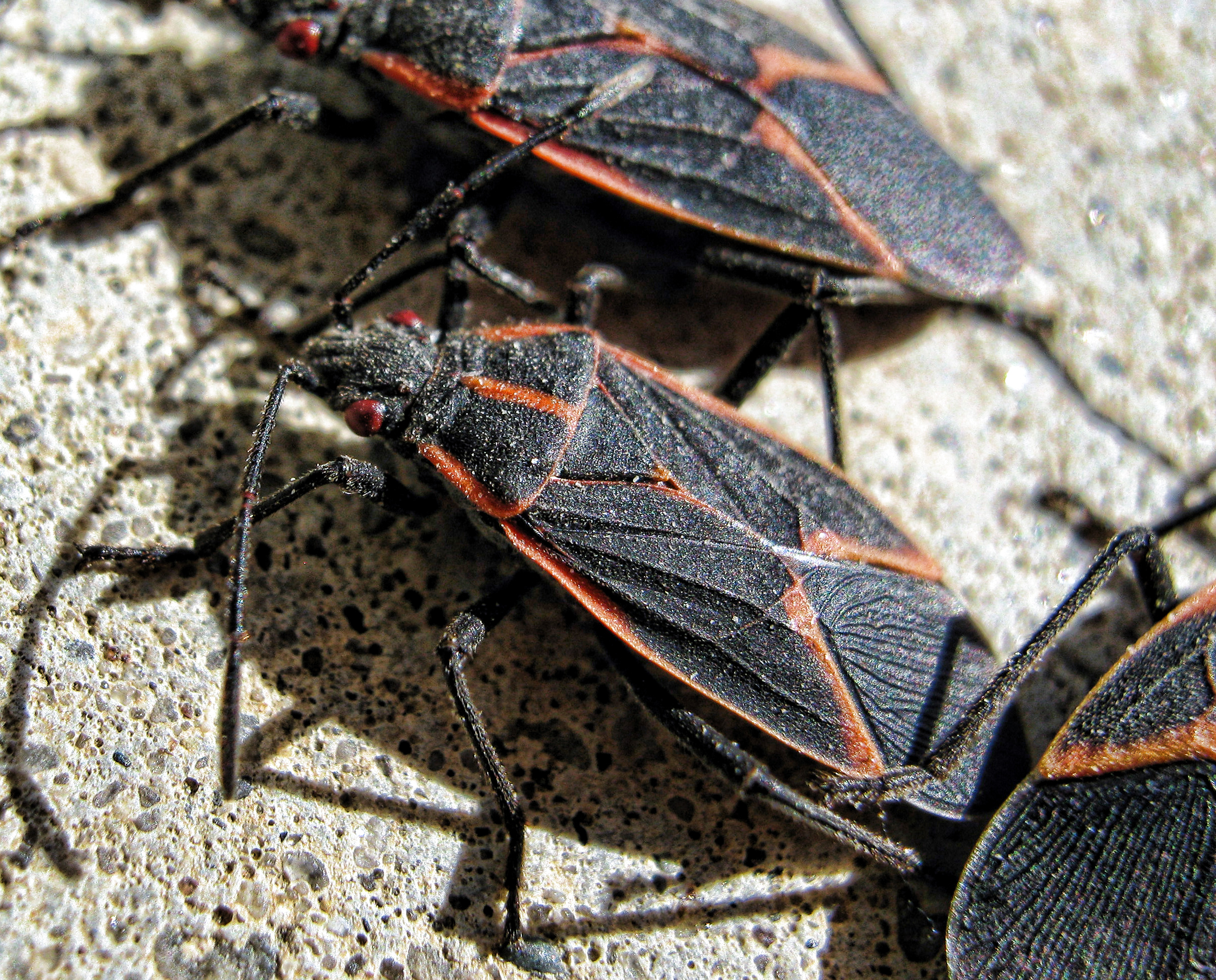 box elder bug IMG_1580 (2) copy