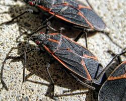 box elder bug IMG_1580 (2) copy