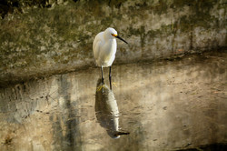 DSC_0445 snowy egret deep 1 copy  (Medium)