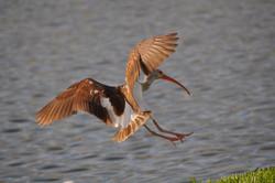 DSC_3304 (Medium) brown ibis