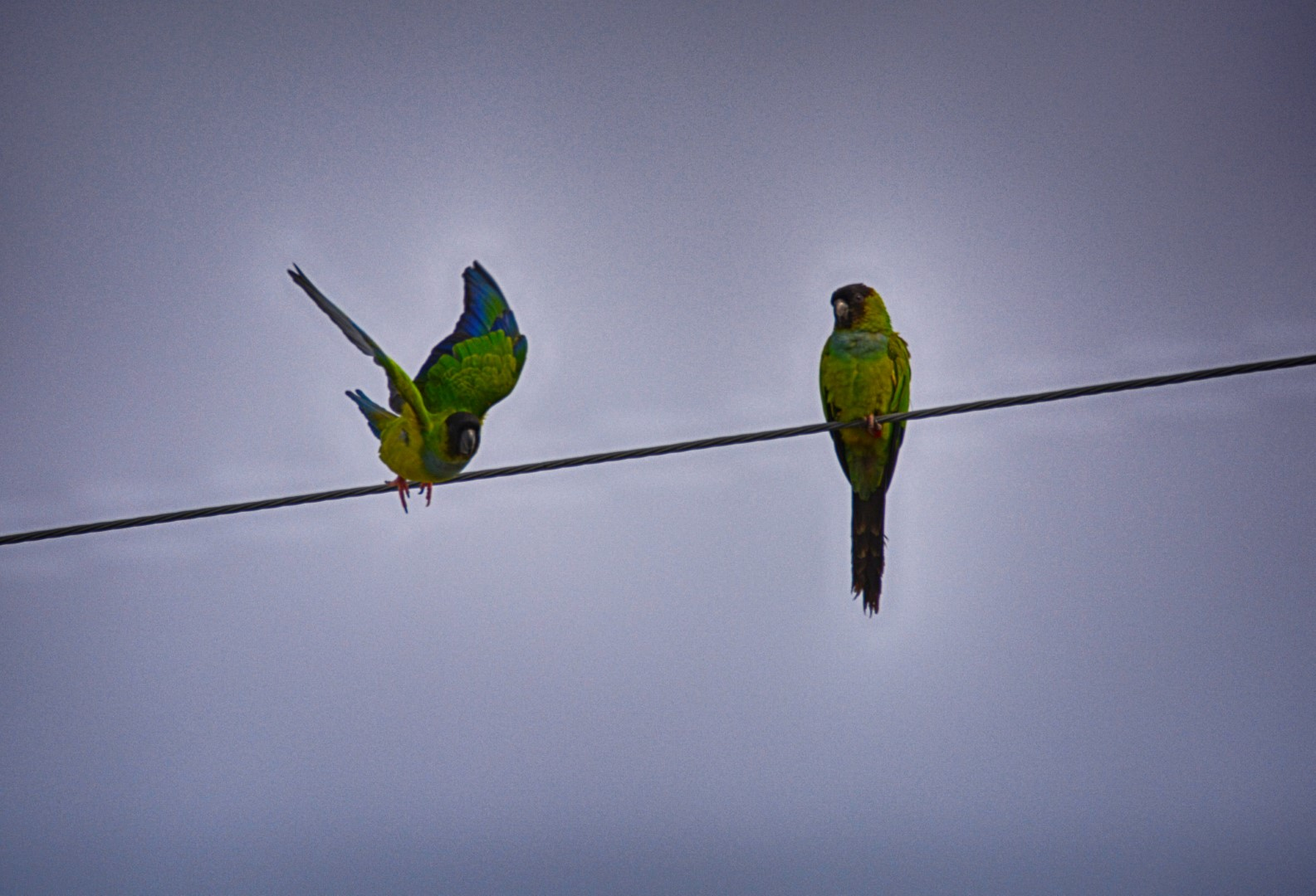 DSC_7439 st pete black hooded parakeets