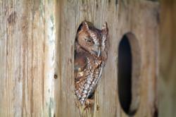 DSC_5181 copy_boyd_hill_screetch_owl (La