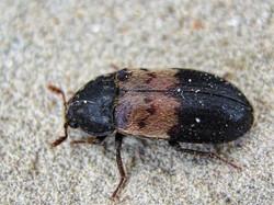larder beetle copy