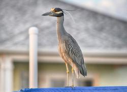 DSC_2876 copy bright yellow colored night heron (Medium)