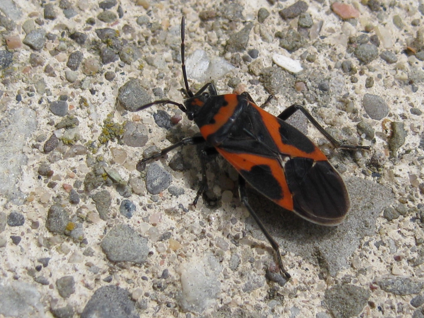 milk weed bug (Large).JPG
