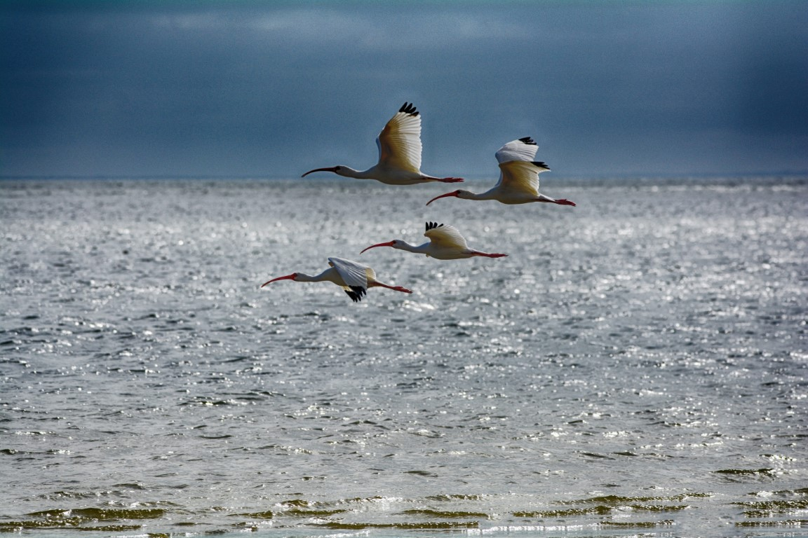american ibis DSC_7205 copy (Medium)