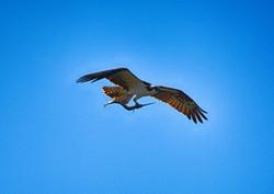 DSC_7278 copy (Large)_osprey
