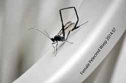 Female pelecinid wasp  DSC_1338 copy (Large).jpg