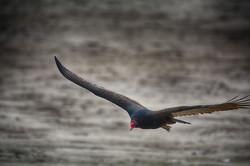 turkey Vulture DSC_7125 copy (Large)