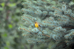 DSC_2963 pine warbler copy (Medium)