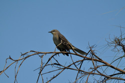 DSC_0173 Bahama Mockingbird  (2) (Medium)