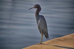DSC_2860 copy balanced little blue heron (Medium)