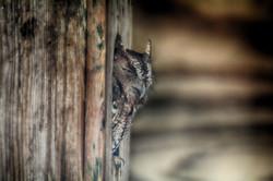 DSC_7329 BOYD screech owl copy