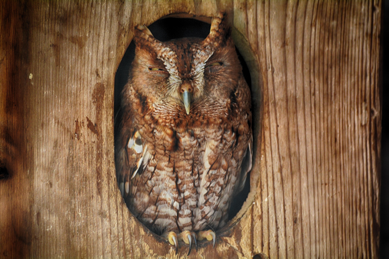 DSC_7334 BOYD screetch owl copy