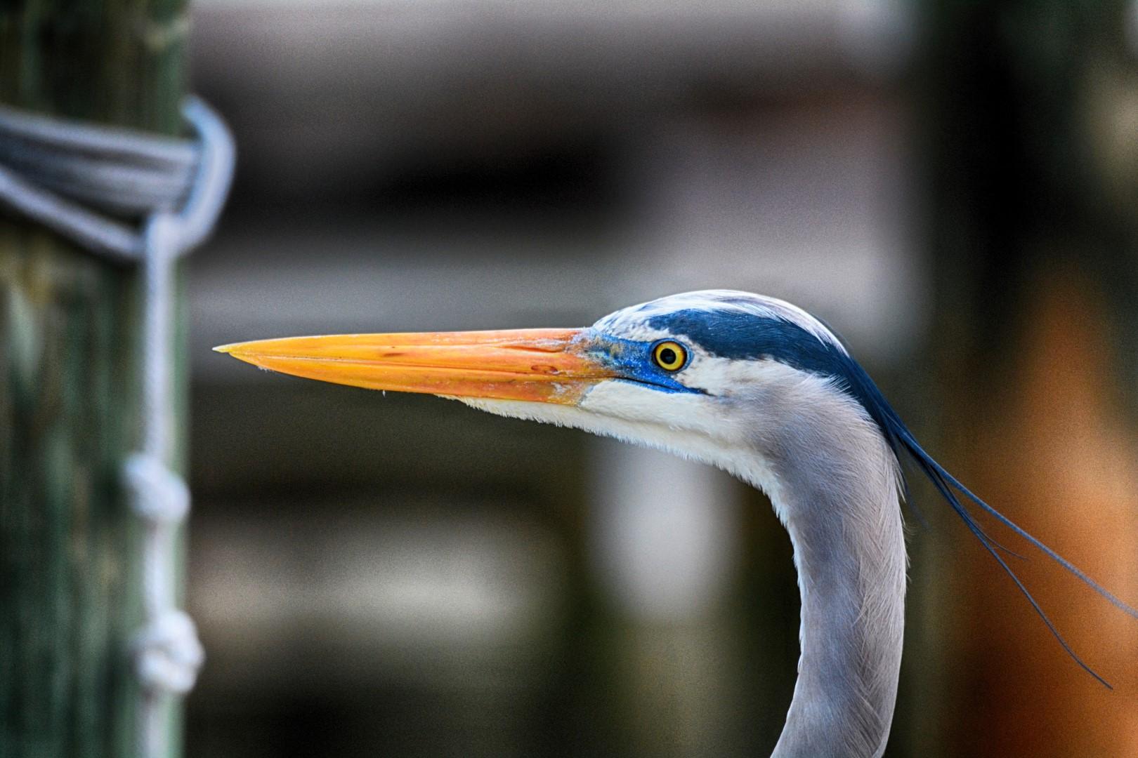 DSC_7313 Blue Heron copy (Large)