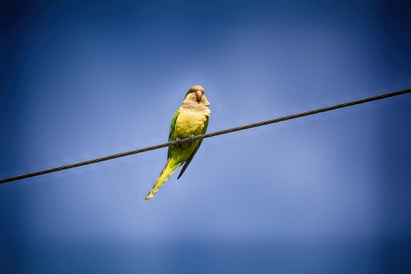 DSC_7087 copy  monk parakeet (Large)