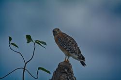 DSC_1649 red shouldered hawk outside 2 (Medium)