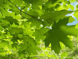 REAL_sugar_maple_leaf-MPE
