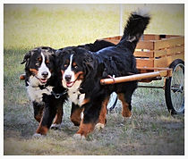 Best dog groomer in Steamboat Springs, Best Pet groomer in town Steamboat Springs, Bernese Mountain Dogs Brace Draft Team