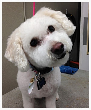Best Dog groomer in Steamboat Springs, Bichon groomer in Steamboat, Maltese groomer in Steamboat Springs, Best Pet groomer, beautiful job dog groomer, Bichon haircuts in Steamboat Springs