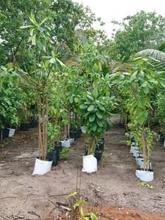 Nursery plantation