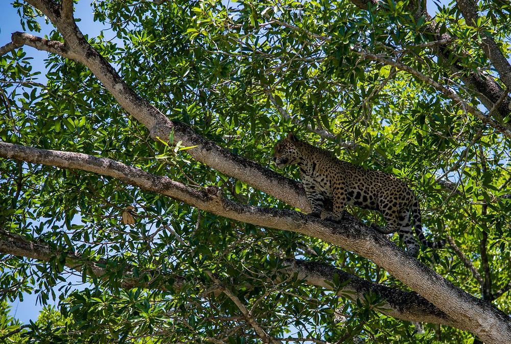onça-pintada arvore pantanal mato grosso porto jofre