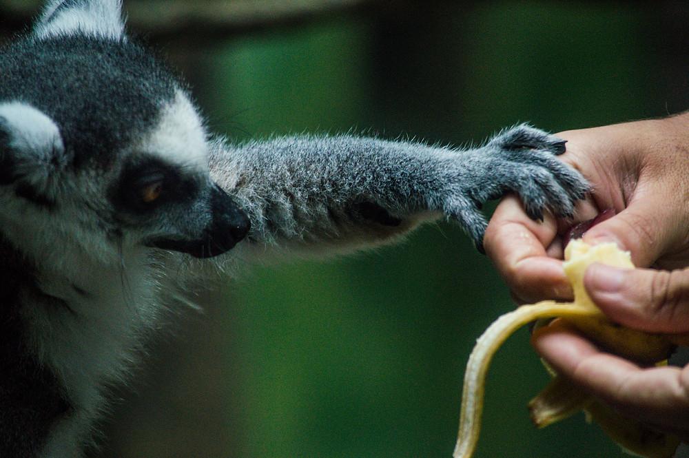 lêmure segura mão de bióloga durante a alimentação no projeto selva viva