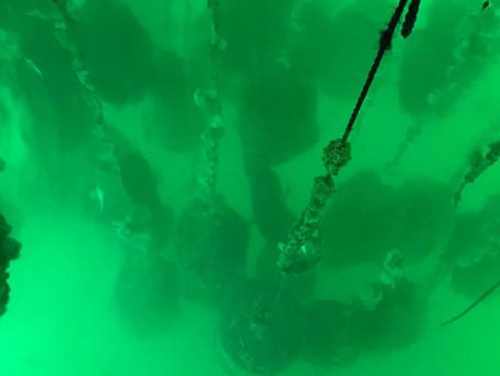 【珍珠專家之養殖日記】打風前夕巨無霸突擊珍珠養殖場